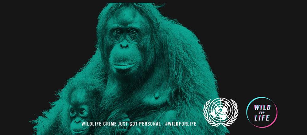 Orangutan wed